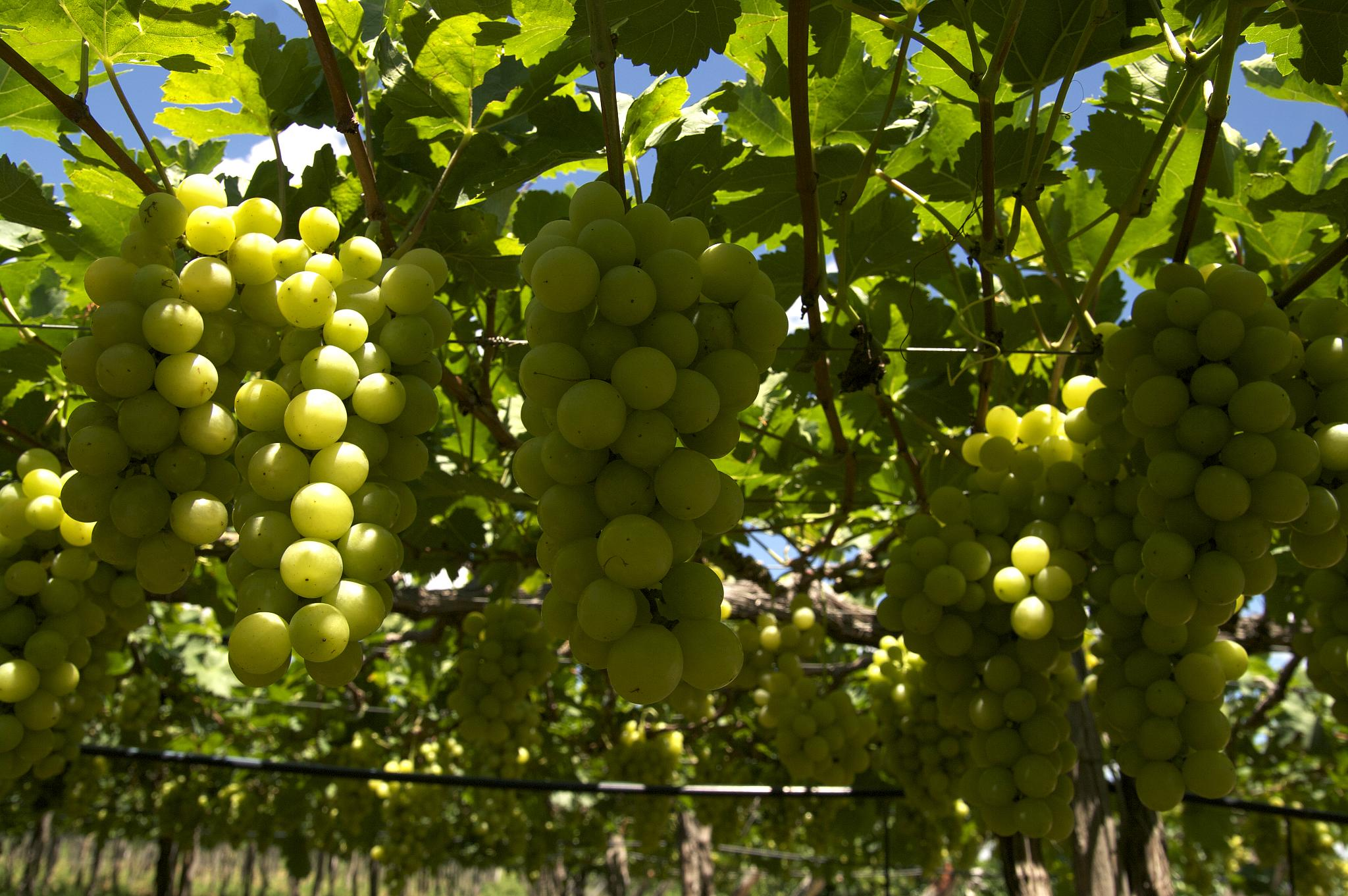 Brocheta-uvas.jpg